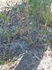 staghorn cinquefoil - Potentilla bimundorum (POBI17)
