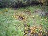 Richardson's brookfoam - Boykinia richardsonii (BORI2)