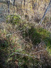 Smallflowered woodrush - Luzula parviflora (LUPA4)