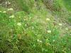 Seacoast angelica - Angelica lucida (ANLU)