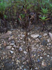 Fourpart dwarf gentian - Gentianella propinqua ssp. propinqua (GEPRP)