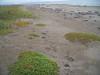Seaside sandplant - Honckenya peploides ssp. diffusa (HOPED)