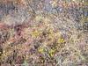 Northern singlespike sedge - Carex scirpoidea (CASC10)