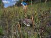 Yukon fringed gentian - Gentianopsis detonsa ssp. yukonensis (GEDEY)