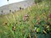 Nodding arnica - Arnica lessingii (ARLE2)