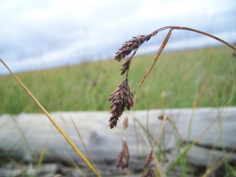 Gmelin's sedge - Carex gmelinii (CAGM)