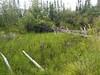 bluejoint - Calamagrostis canadensis (CACA4)
