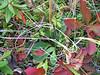 Stiffstem saxifrage - Saxifraga hieraciifolia (SAHI5)