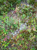 Boreal sagebrush - Artemisia arctica (ARAR9)