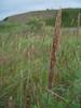 American dunegrass - Leymus mollis (LEMO8)