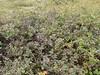 Bog blueberry - Vaccinium uliginosum (VAUL)