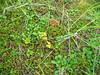 Scottish licorice-root - Ligusticum scoticum (LISC3)