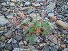 Villous cinquefoil - Potentilla villosa (POVI4)