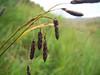Shortstalk sedge - Carex podocarpa (CAPO)