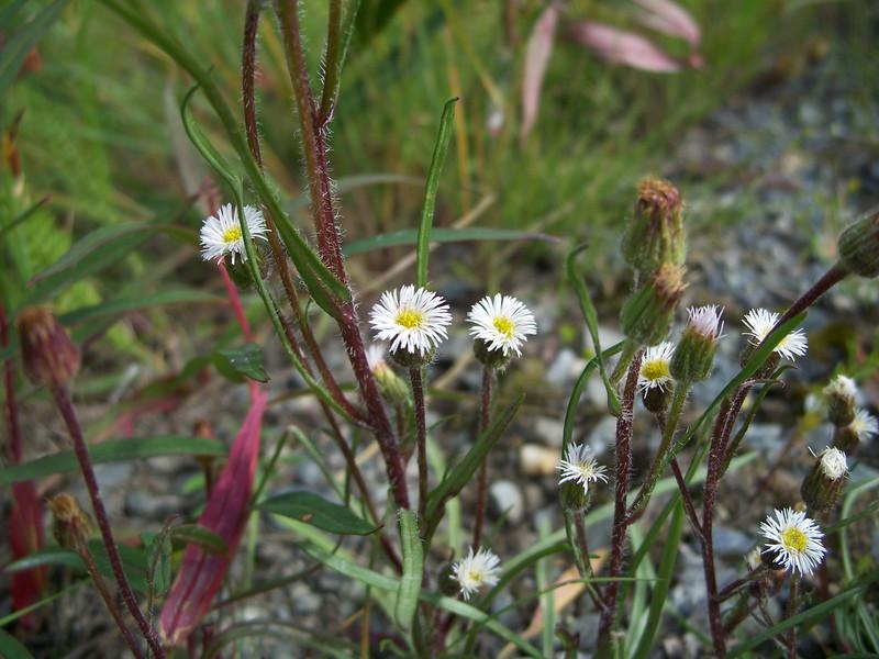 Shortray fleabane - Erigeron lonchophyllus (ERLO)
