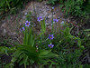 Alaska blue-eyed grass - Sisyrinchium littorale (SILI4)
