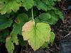 Bigflower tellima - Tellima grandiflora (TEGR2)