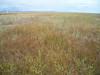 Largeflower speargrass - Poa eminens (POEM)