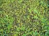 Goose tongue - Plantago maritima (PLMA3)