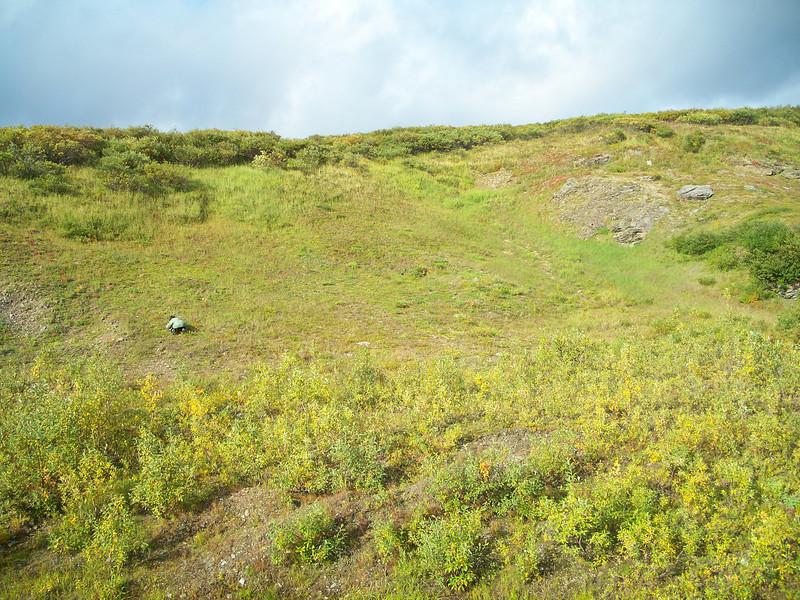 Kotzebue's grass of Parnassus - Parnassia kotzebuei (PAKO3)