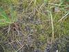Dane's dwarf gentian - Gentianella tenella (GETE4)