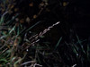American mannagrass - Glyceria grandis var. grandis (GLGRG)