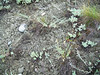 Prarie flax - Linum lewisii var. lewisii (LILEL2)