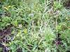 Alpine milkvetch - Astragalus alpinus var. alpinus (ASALA4)