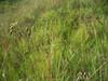 Altai fescue - Festuca altaica (FEAL)