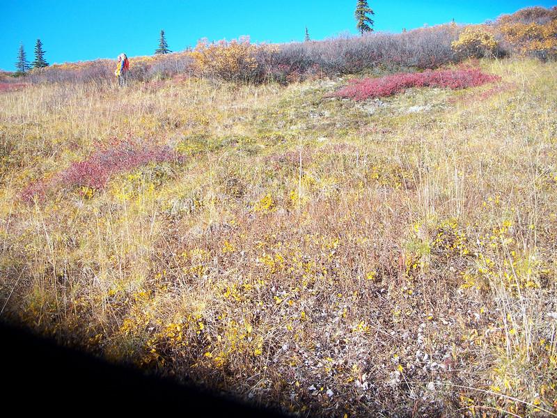 Rocky Mountain goldenrod - Solidago multiradiata (SOMU)