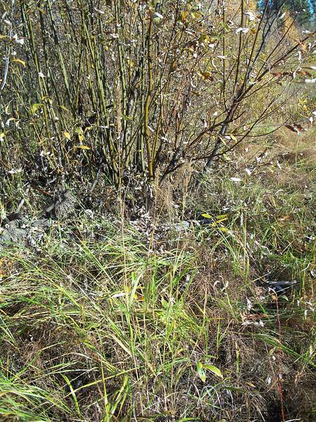 Bluejoint - Calamagrostis canadensis var. langsdorffii (CACAL3)