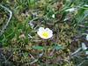 Entireleaf mountain-avens - Dryas integrifolia (DRIN4)