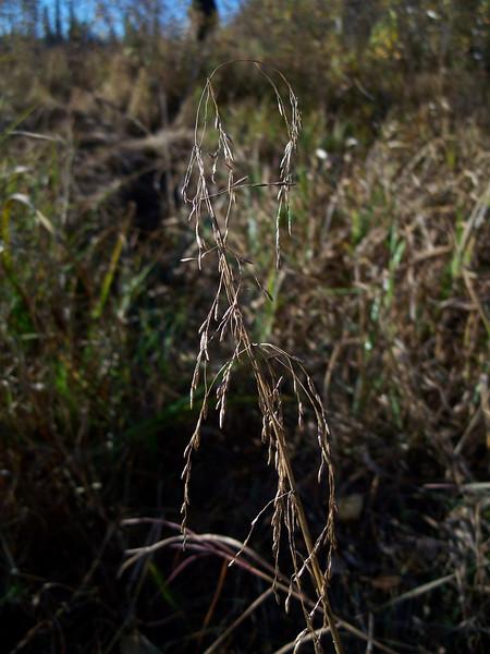 Pendantgrass - Arctophila fulva (ARFU2)