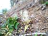 Western rattlesnakeroot - Prenanthes alata (PRAL)