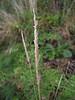 Spike bentgrass - Agrostis exarata (AGEX)