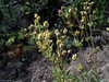 Pennsylvania cinquefoil - Potentilla pensylvanica var. pensylvanica (POPEP5)
