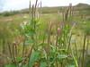 Fringed willowherb - Epilobium ciliatum ssp. ciliatum (EPCIC)