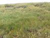 Water sedge - Carex aquatilis (CAAQ)