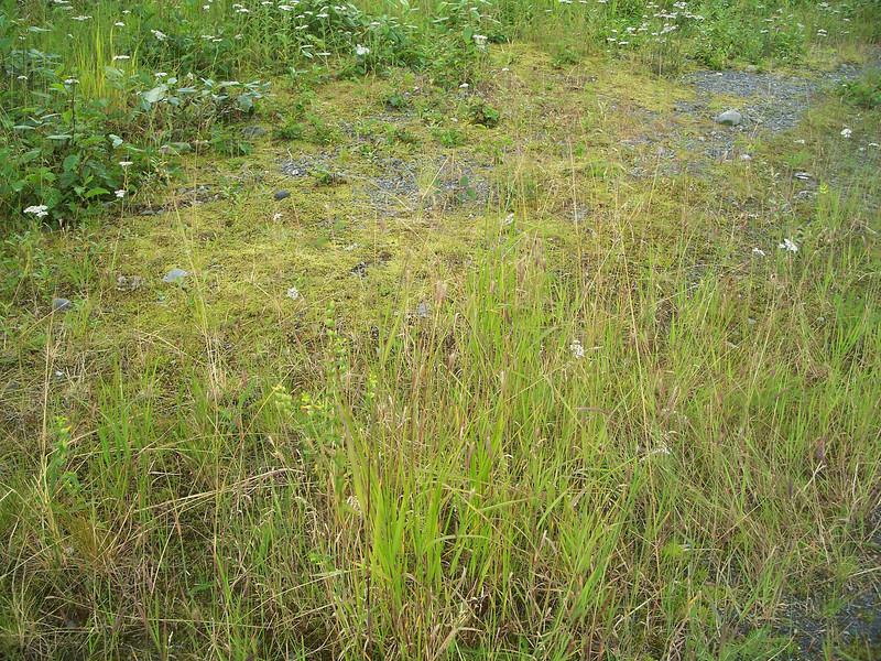 Meadow barley - Hordeum brachyantherum ssp. brachyantherum (HOBRB2)