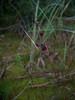 Common woodrush - Luzula multiflora (LUMU2)