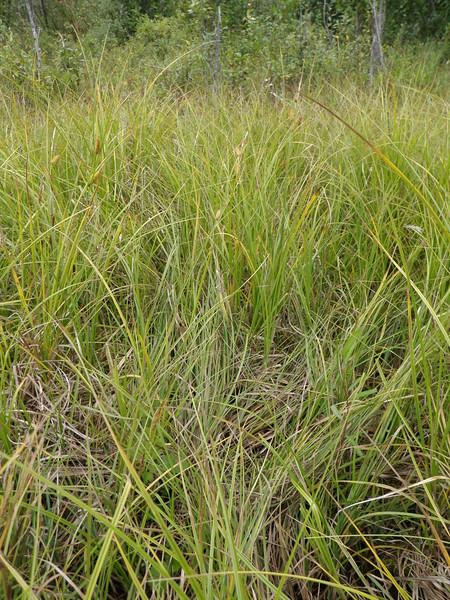 Northwest Territory sedge - Carex utriculata (CAUT)