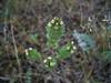 Polar eyebright - Euphrasia disjuncta (EUDI9)