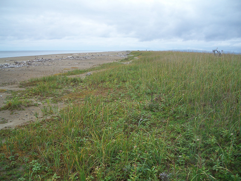 American dunegrass - Leymus mollis ssp. villosissimus (LEMOV)