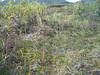 Ledge stonecrop - Rhodiola integrifolia (RHIN11)