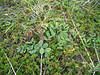 Beach pea - Lathyrus japonicus var. maritimus (LAJAM)