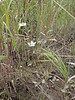 Marsh grass of Parnassus - Parnassia palustris (PAPA8)