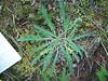 Soft phacelia - Phacelia mollis (PHMO2)
