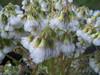 Marsh fleabane - Senecio congestus (SECO2)