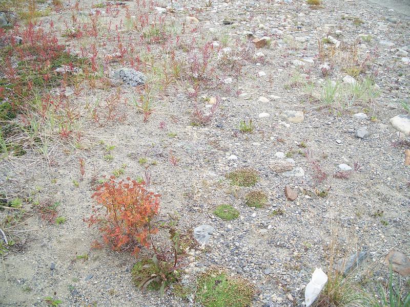 American yellowrocket - Barbarea orthoceras (BAOR)