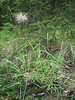 Cutleaf anemone - Pulsatilla patens ssp. multifida (PUPAM)
